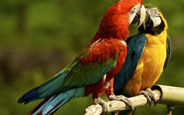 Фото обои попугаи, парочка, ара