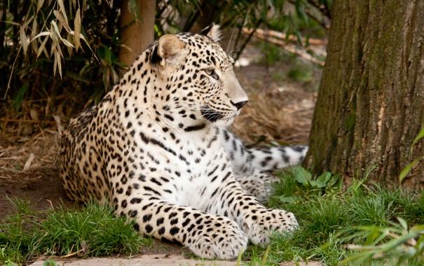 Фото обои персидский, трава, кошка, леопард