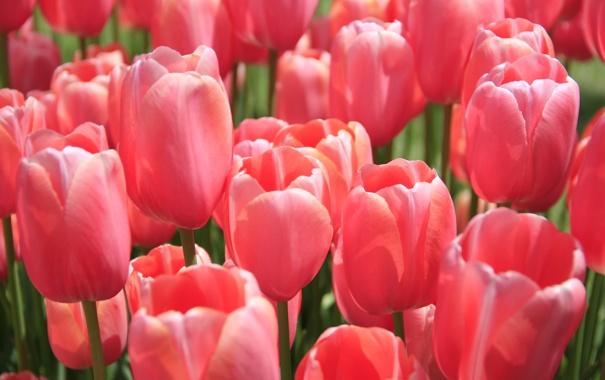 Фото обои flower, pink, flowers, beautiful