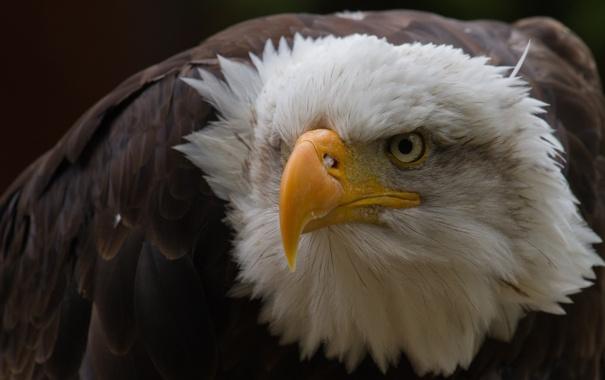 Фото обои взгляд, птица, клюв, орёл, острый, грозный, гордый