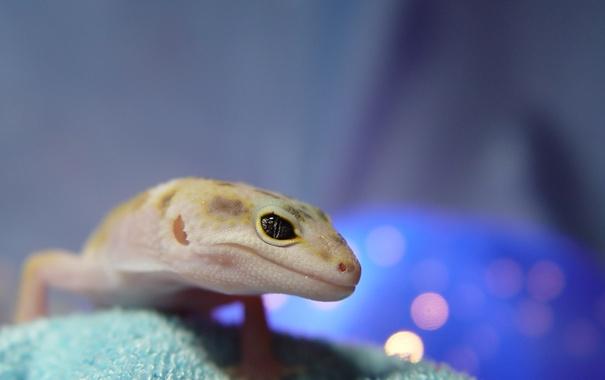 Фото обои глаз, красота, Ящерица, геккон, смотрит, интересное, эублефар