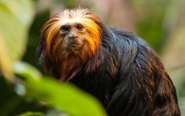 Фото обои глаза, взгляд, шерсть, обезьянка, игрунка, львиная