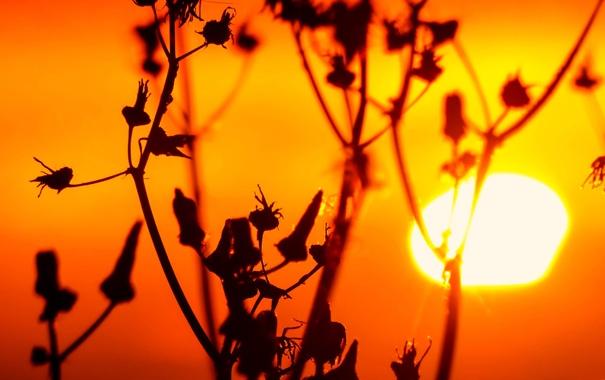 Фото обои солнце, закат, природа, растение, стебель, сорняк