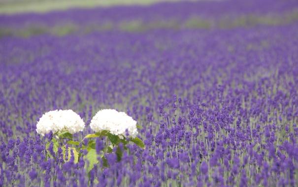 Фото обои весна, поле, гортензия, лепестки, листья, сиреневые, поляна
