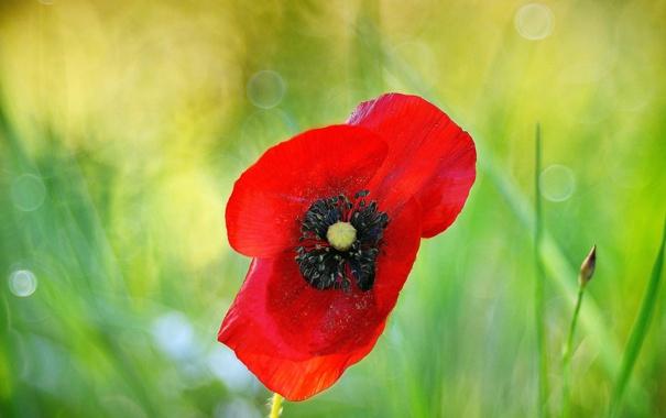 Фото обои цветок, макро, красный, растение, мак, боке