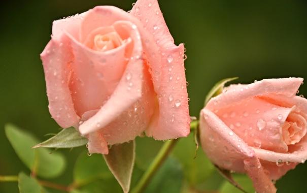 Фото обои вода, капли, цветы, роса, роза, лепестки, бутон