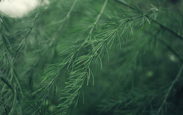 Фото обои иголки, ветки, ель, ёлка