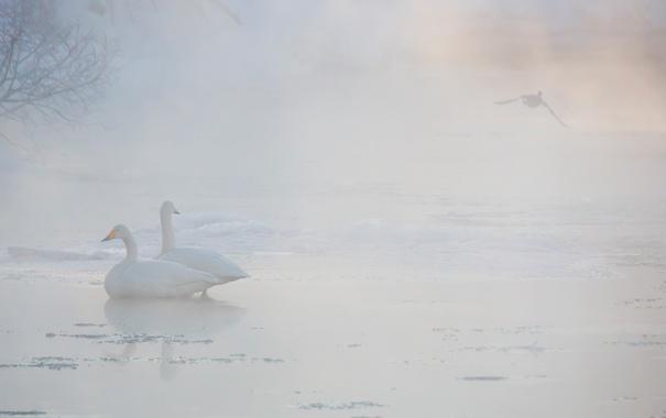 Фото обои птицы, туман, лебеди