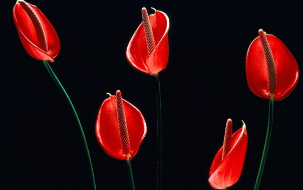 Фото обои черный фон, Anthurium, The Flowers of Hawaii