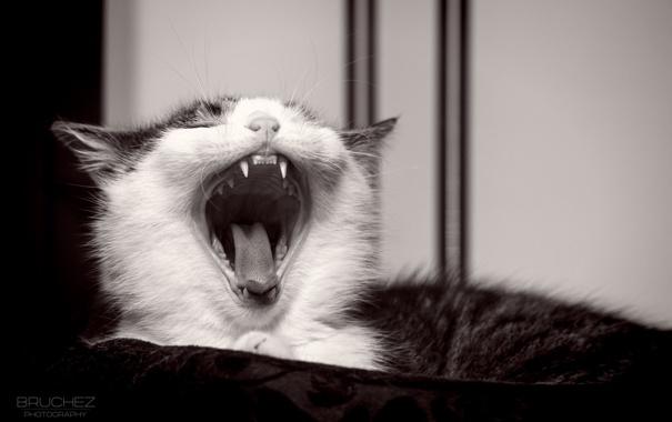 Фото обои язык, кошка, кот, котенок, мордочка, пасть, клыки