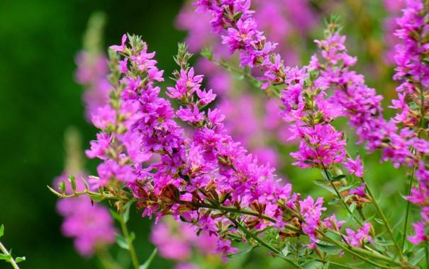 Фото обои цветение, кустарник, ветки, розовые, цветы