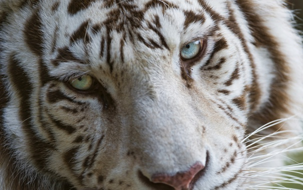 Фото обои кошка, морда, голубые глаза, белый тигр, ©Tambako The Jaguar