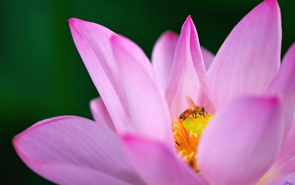 Фото обои цветок, макро, пчела, розовый, лотос, кувшинка, водяная лилия