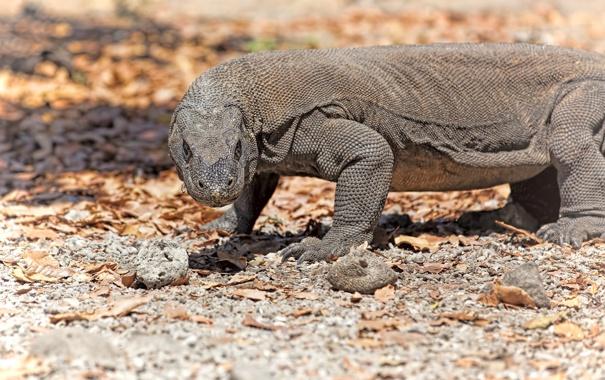 Фото обои взгляд, хищник, рептилия, варан