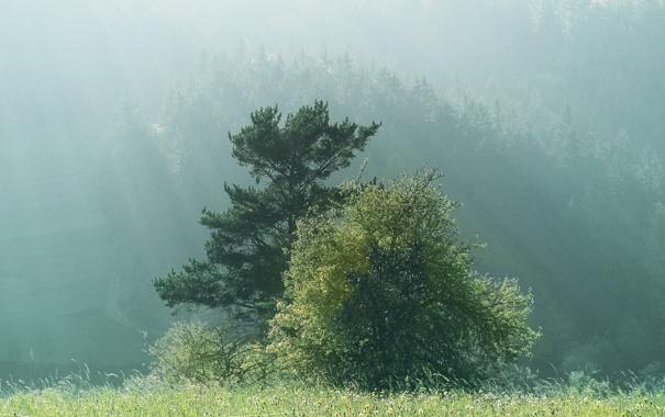 Фото обои деревья, природа, туман, утро, forest, trees in fog