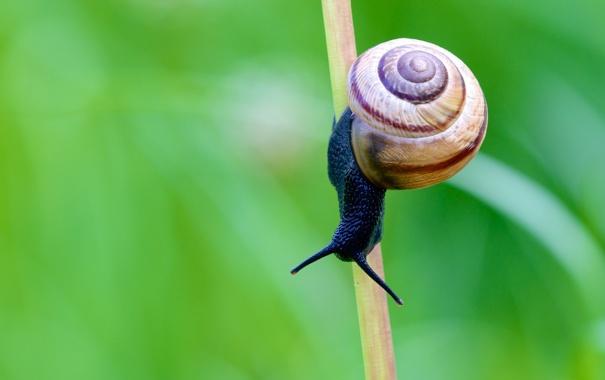 Фото обои улитка, стебель, усики, shell, snail, stalk, antennae