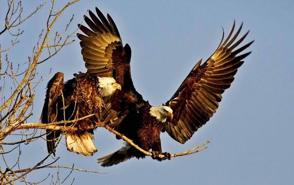 Фото обои небо, птица, орел, крылья, ветка, пара, орлан