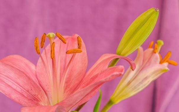 Фото обои природа, цветок, растение, лилия, лепестки