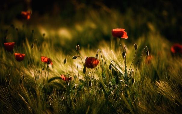 Фото обои поле, цветы, маки, колоски, тёмные тона