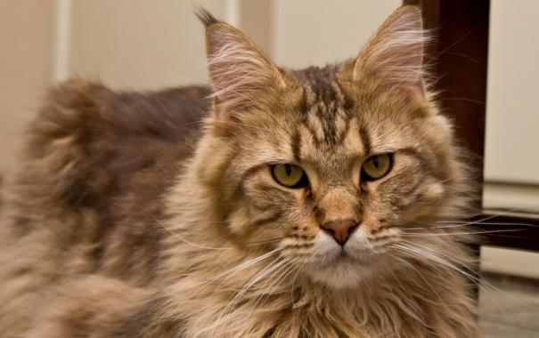 Фото обои кошка, кот, взгляд, морда, мейн-кун
