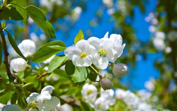 Фото обои цветы, Весна, яблоня