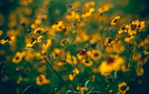 Фото обои стебли, лепестки, размытость, жёлтые, полевые цветы