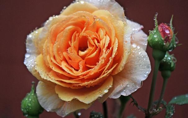 Фото обои капли, макро, роса, роза, бутоны