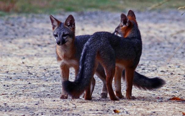 Фото обои животные, лисы, взгляд. природа