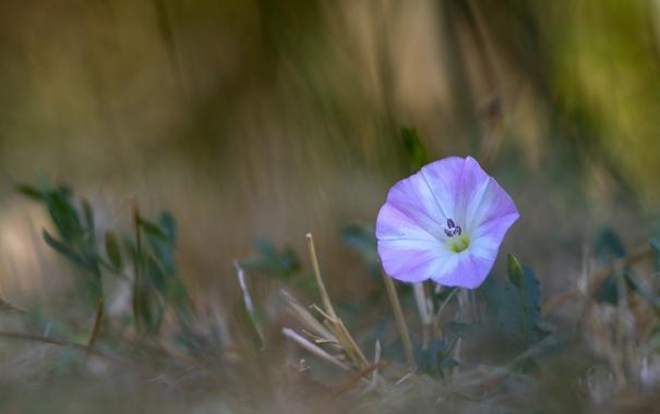Фото обои цветок, листья, фон, размытость, вьюнок
