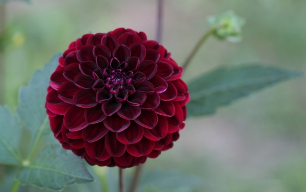 Фото обои георгин, цветок, бордовый