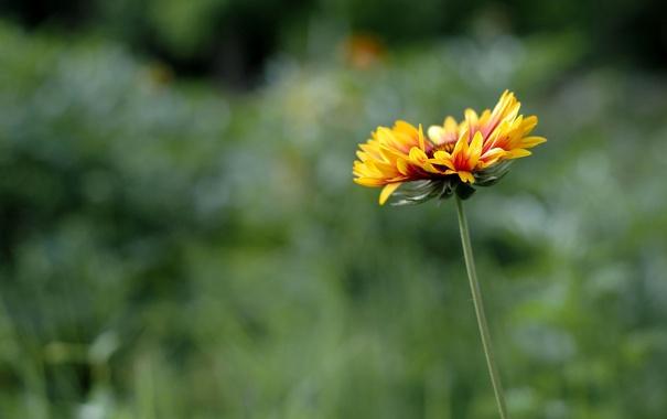 Фото обои цветок, лепестки, ромашка