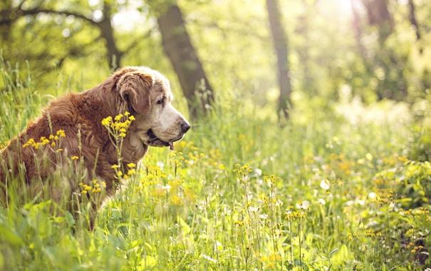 Фото обои лето, природа, друг, собака