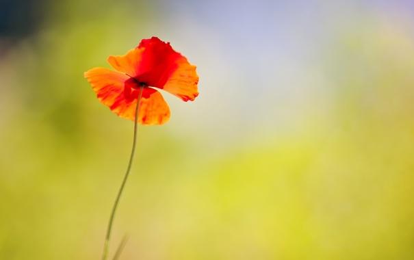 Фото обои цветок, цветы, красный, фон, widescreen, обои, мак