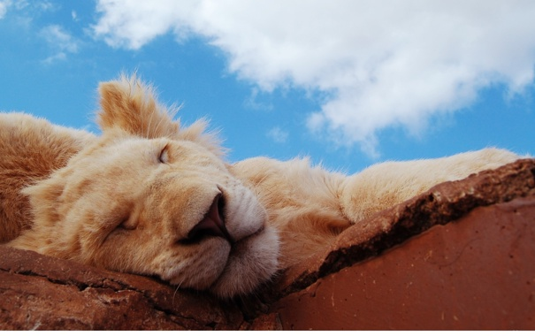 Фото обои маленький, спит, дикие кошки, чудо, львенок