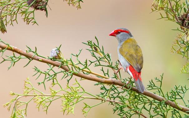 Фото обои листья, птица, ветка, перья, клюв, Австралия, хвост