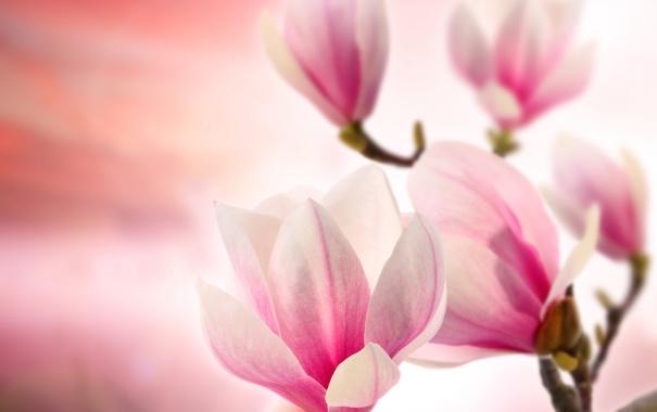 Фото обои цветы, ветки, flowers, магнолия, branches, Magnolia