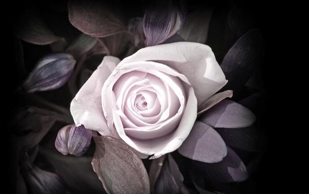 Фото обои цветок, цветы, лист, роза, бутон, лепесток