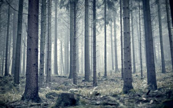 Фото обои лес, туман, стволы, утро, сосны, германия, germany