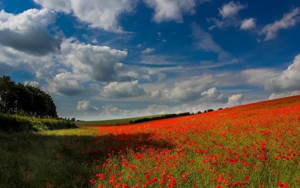 Фото обои поле, лес, небо, облака, деревья, цветы, маки