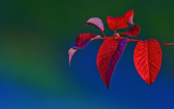 Фото обои листья, красный, природа, обои, цвет