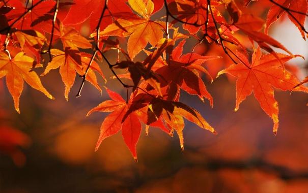 Фото обои осень, листья, макро, ветки, природа, дерево, ветви