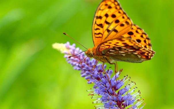 Фото обои цветок, бабочка, крылья, размытость, сидит, усики