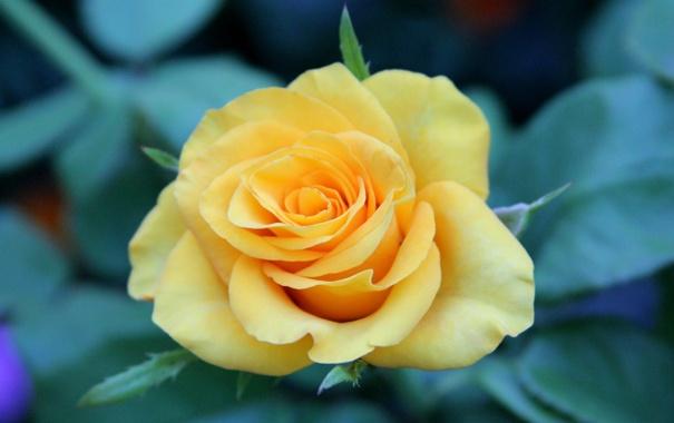Фото обои зелень, цветок, макро, цветы, желтый, природа, фон