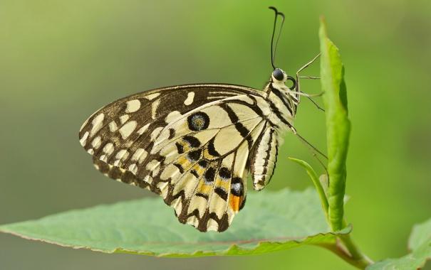 Фото обои лист, узор, бабочка, крылья, насекомое, мотылек