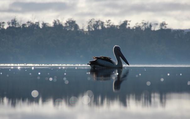 Фото обои озеро, птица, пеликан