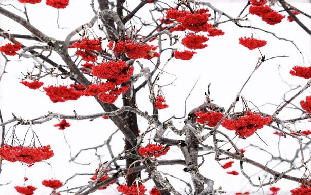 Фото обои зима, природа, ягоды
