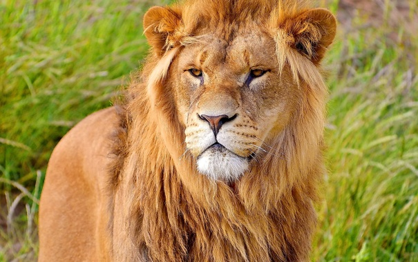 Фото обои морда, лев, грива, стоит, смотрит
