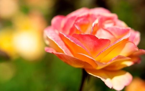 Фото обои цветок, макро, роза, цвет, лепестки, яркость