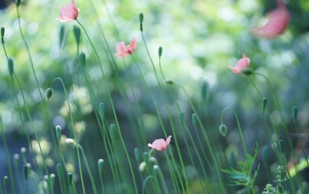 Фото обои лето, цветы, природа, маки, розовые