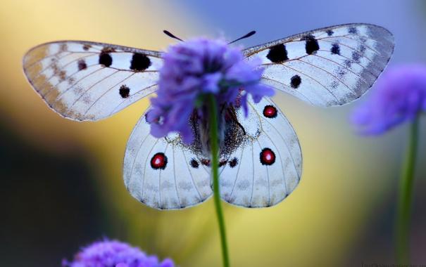 Фото обои цветок, крылья, бабочька, King of Alps